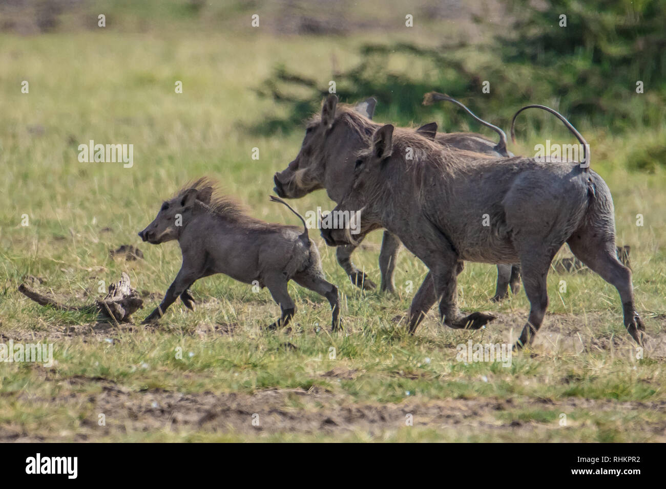 Family of warthogs - Stock Image