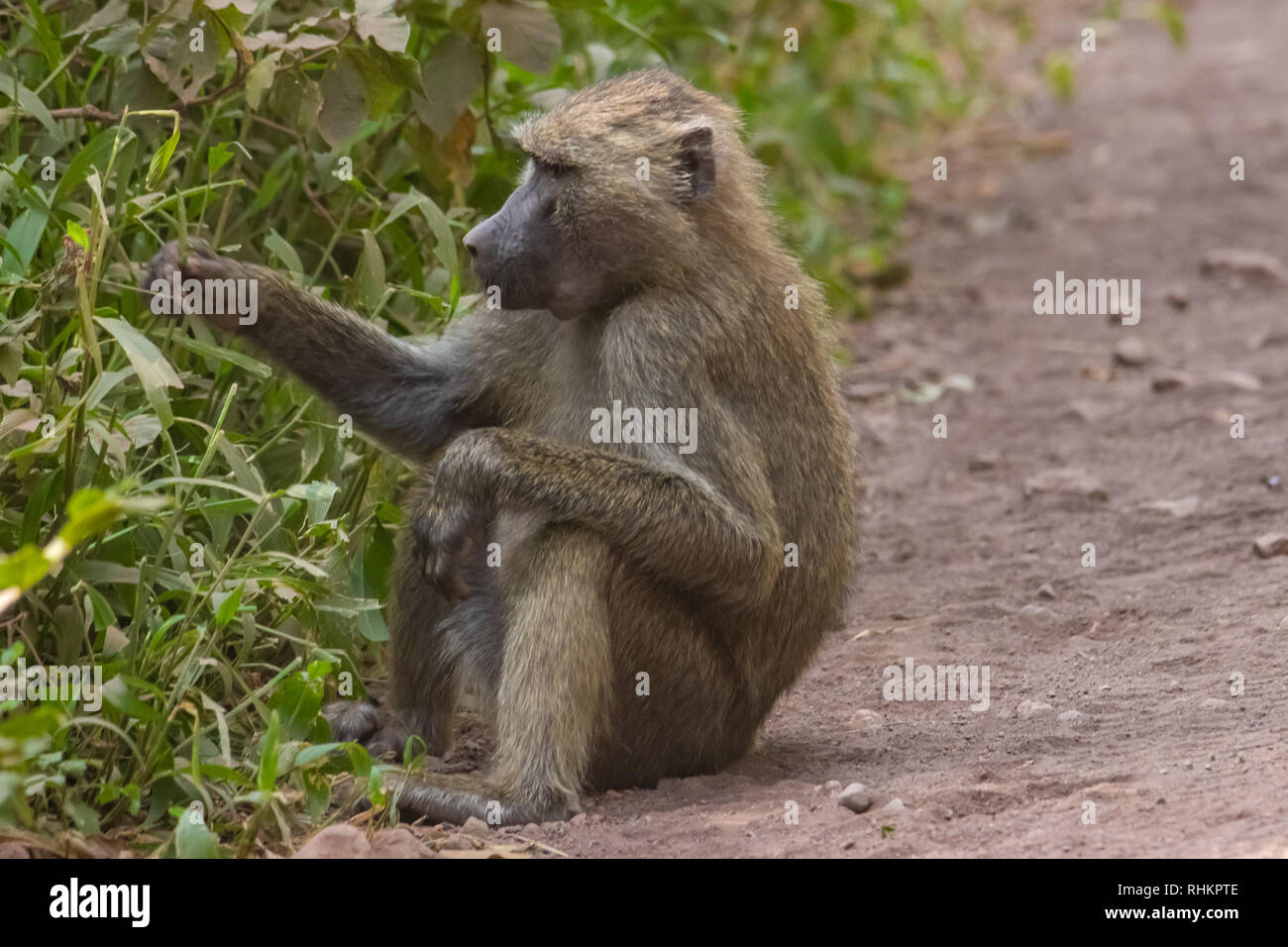 Baboon eating grass - Stock Image