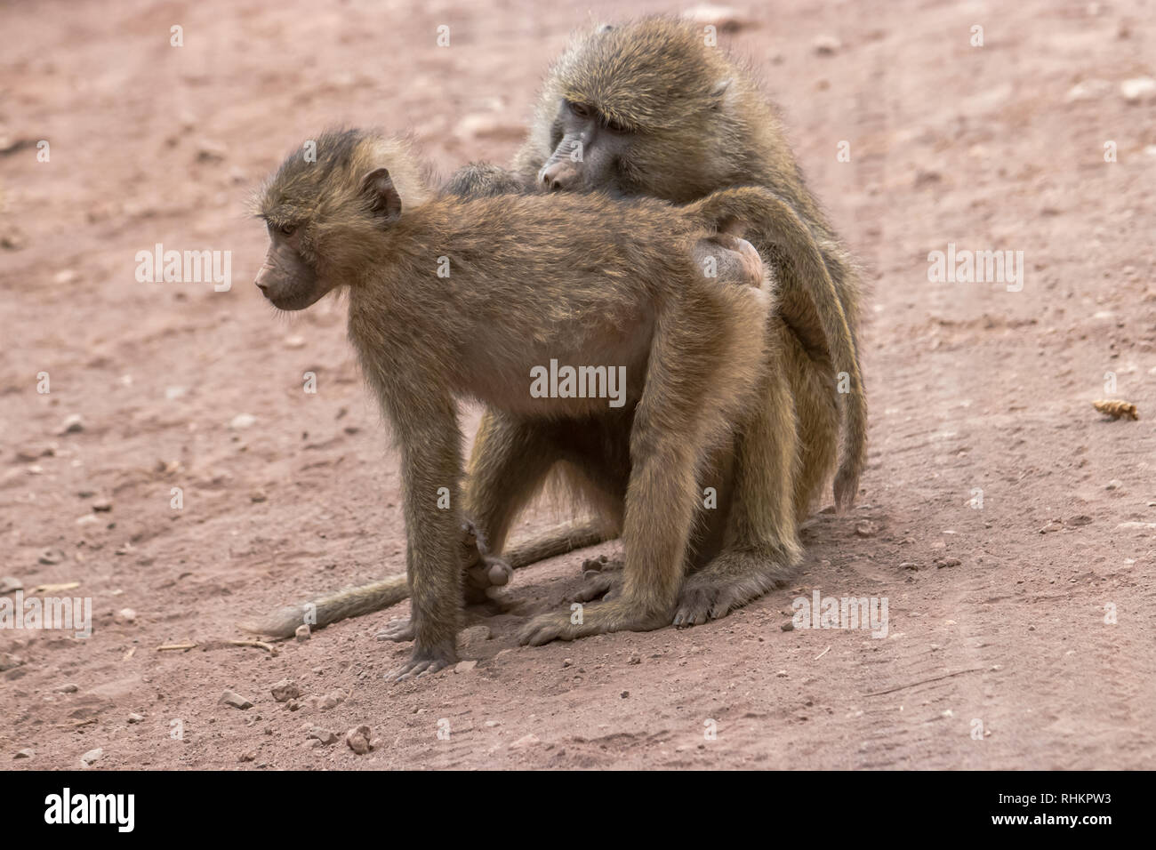 Two baboons cleaning each other Stock Photo