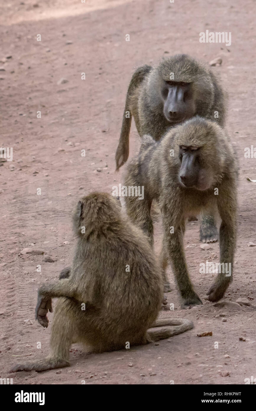 The baboons sit on the road - Stock Image