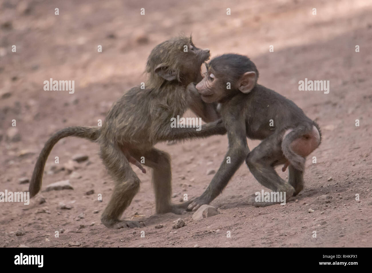Two baboons playing - Stock Image
