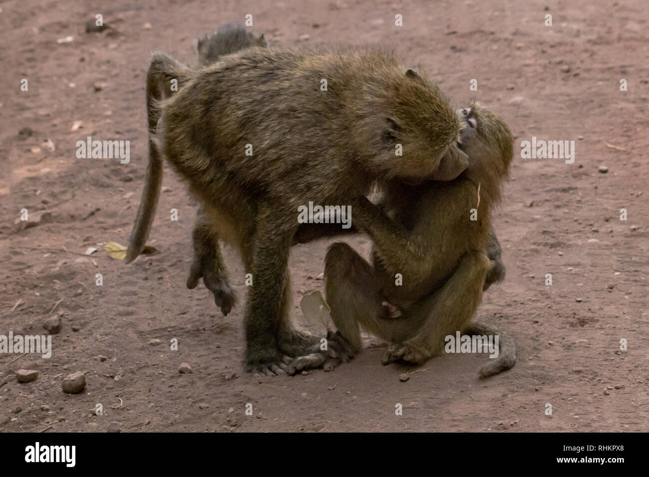 Two baboons cleaning each other - Stock Image