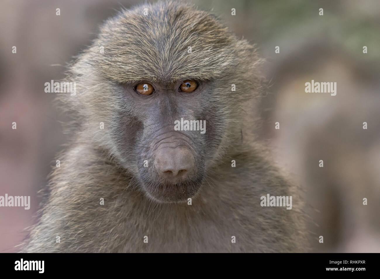 Baboon face portrait - Stock Image