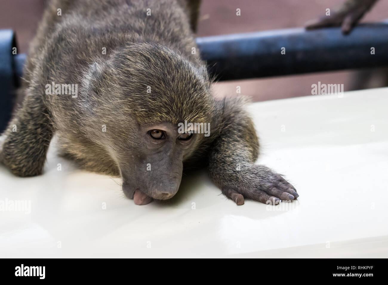 Young baboon - Stock Image