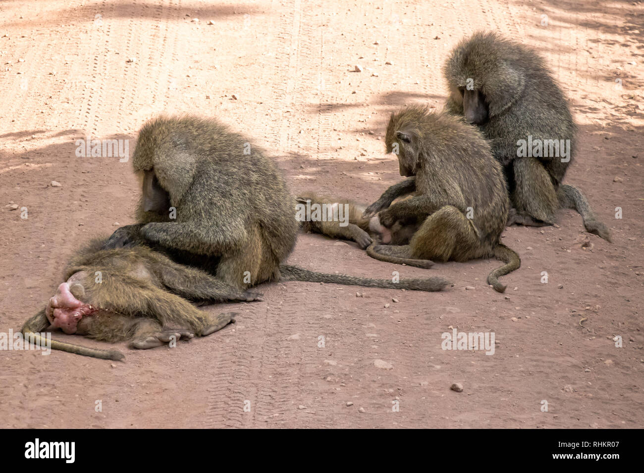 Family of baboons cleaning each other - Stock Image
