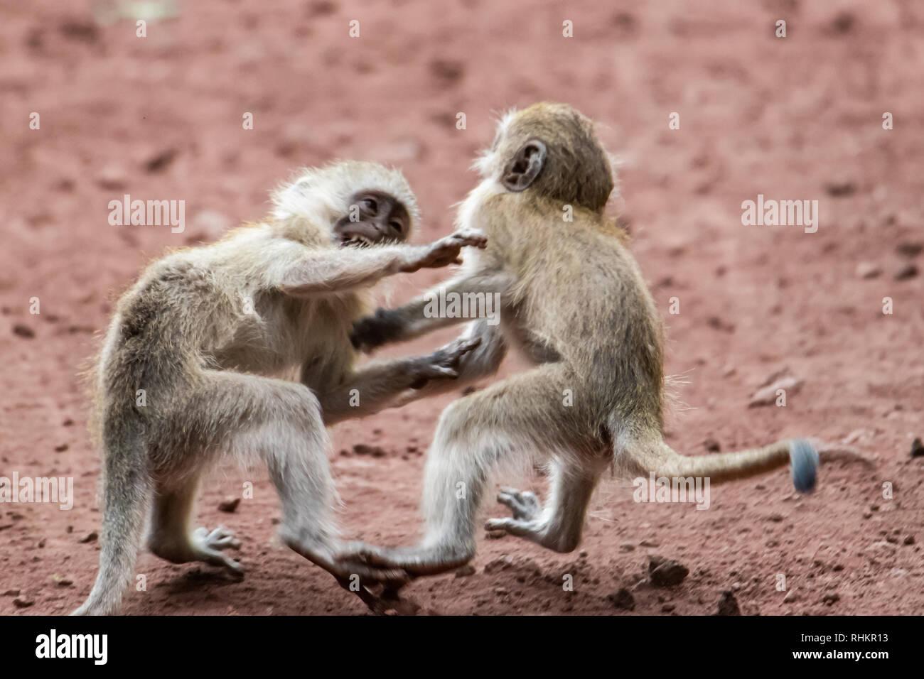 Pair of vervet monkeys playing - Stock Image