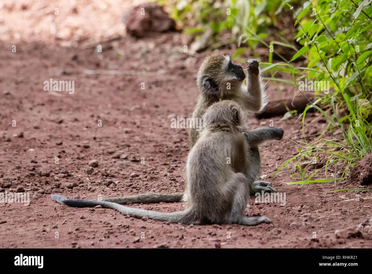 Two vervet monkeys eating leaves - Stock Image