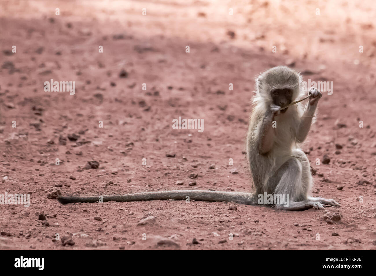 Young vervet monkey on the road - Stock Image