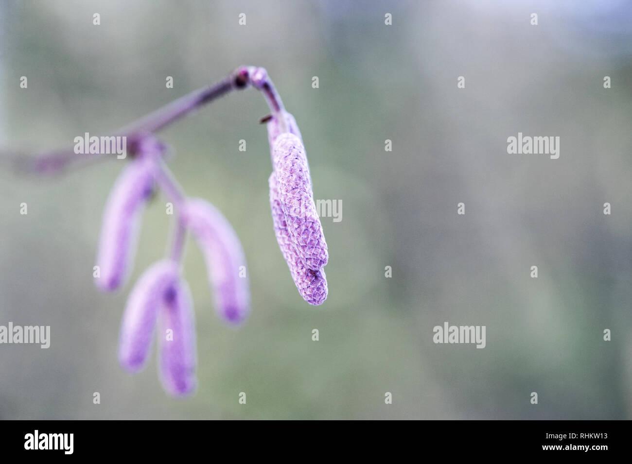 Corylus maxima 'Purpurea' catkins in Winter. - Stock Image