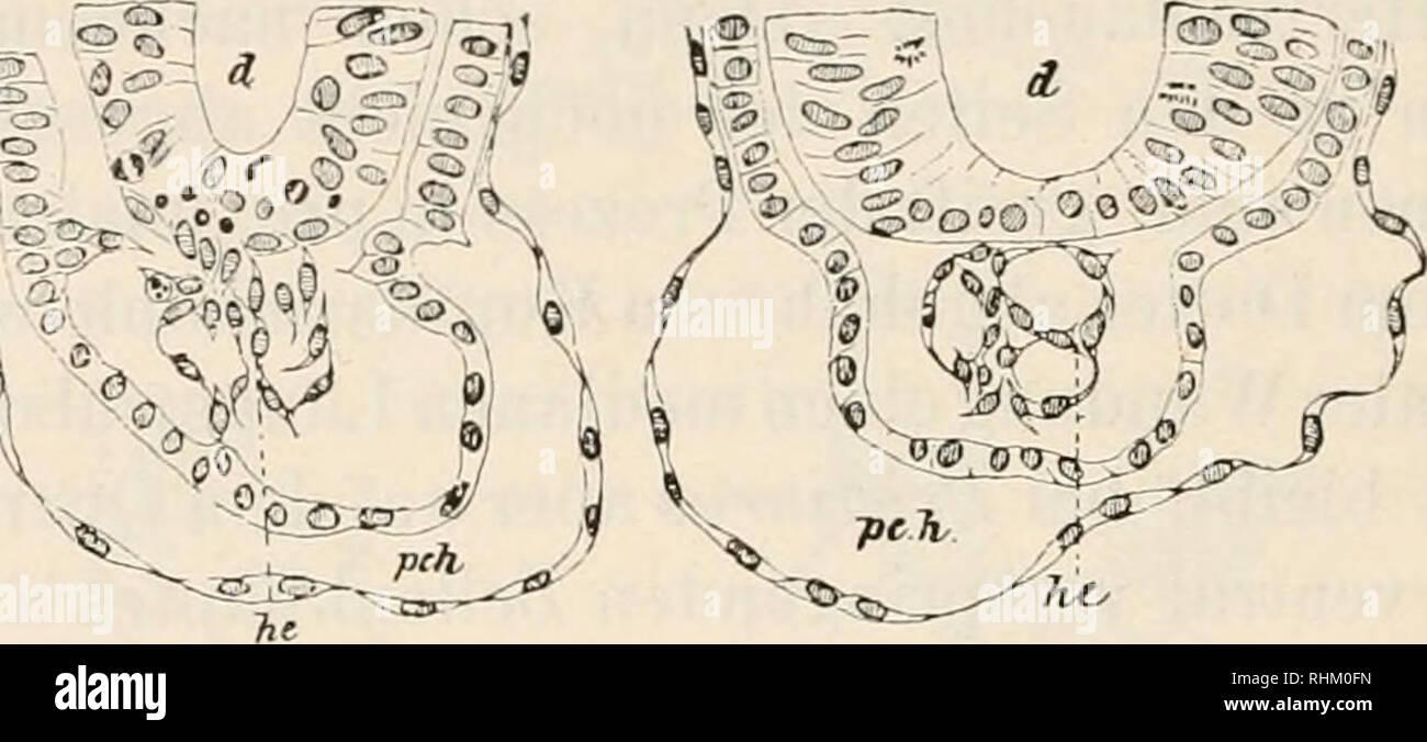 . Biologisches Zentralblatt. Biology. :592 Iviickcrt, Herz und Geflißstiiimne bei Selachier-Embryonen. der Subcliorda und der Aorten erscheint und endlich auch im Be- reiche des Dotterbhistoderms. Der weitere Vcrhuif der Entwickhing- liisst sich besonders bei Fn'sHurus klar verfolgen (Figg. 6 u. 7). Der stark prominierende Zellen- wulst beginnt, sich in toto oder in einzelnen Partikeln von seinem Mutter- boden abzulösen, wobei sein anfänglich festes Gefüge eine zunehmend lockere Beschaffenheit gewinnt dadurch, dass die Zellen Fortsätze gegen einander ausstrecken. Jetzt erkennt man auch, dass d - Stock Image