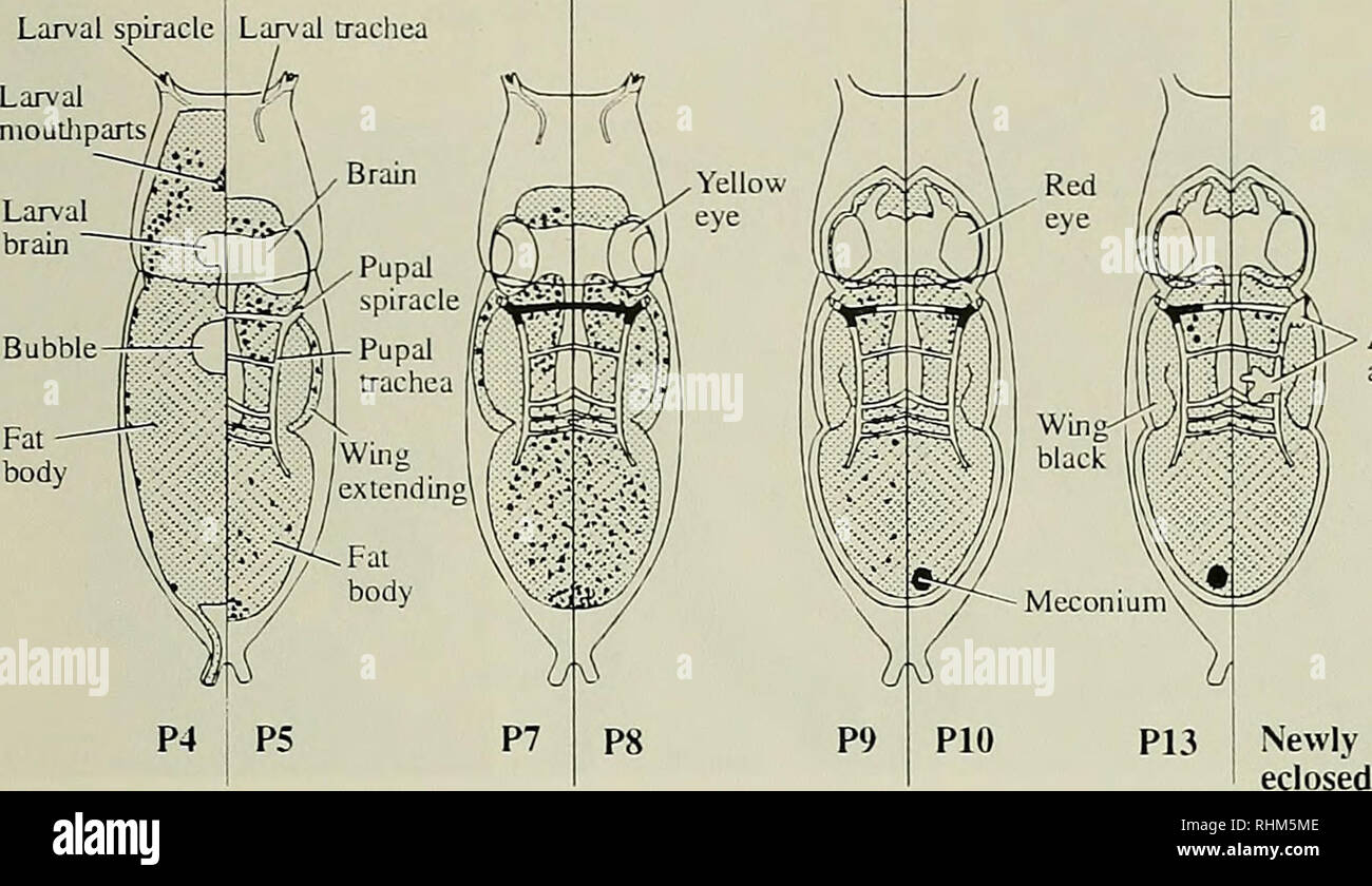 . The Biological bulletin. Biology; Zoology; Marine biology. /3-GALACTOSIDASE IN DROSOPHILA 181 Larval spiracle. M^ Adult air sacs Figure 7. Schematic summary through metamorphosis of endogenous /J-galactosidase activity stained at pH 7.2. Based on X-gal-stained 20-Mm serial frozen longitudinal sections of pupal stages 1-15 cut in the frontal plane. At stage P4. staining (black) is primarily localized to the region housing the imaginal discs, remodeling midgut, and cellular epidermis. After head eversion, P5, there is light staining of the head, thoracic and abdominal fat-body tissue, with dar - Stock Image