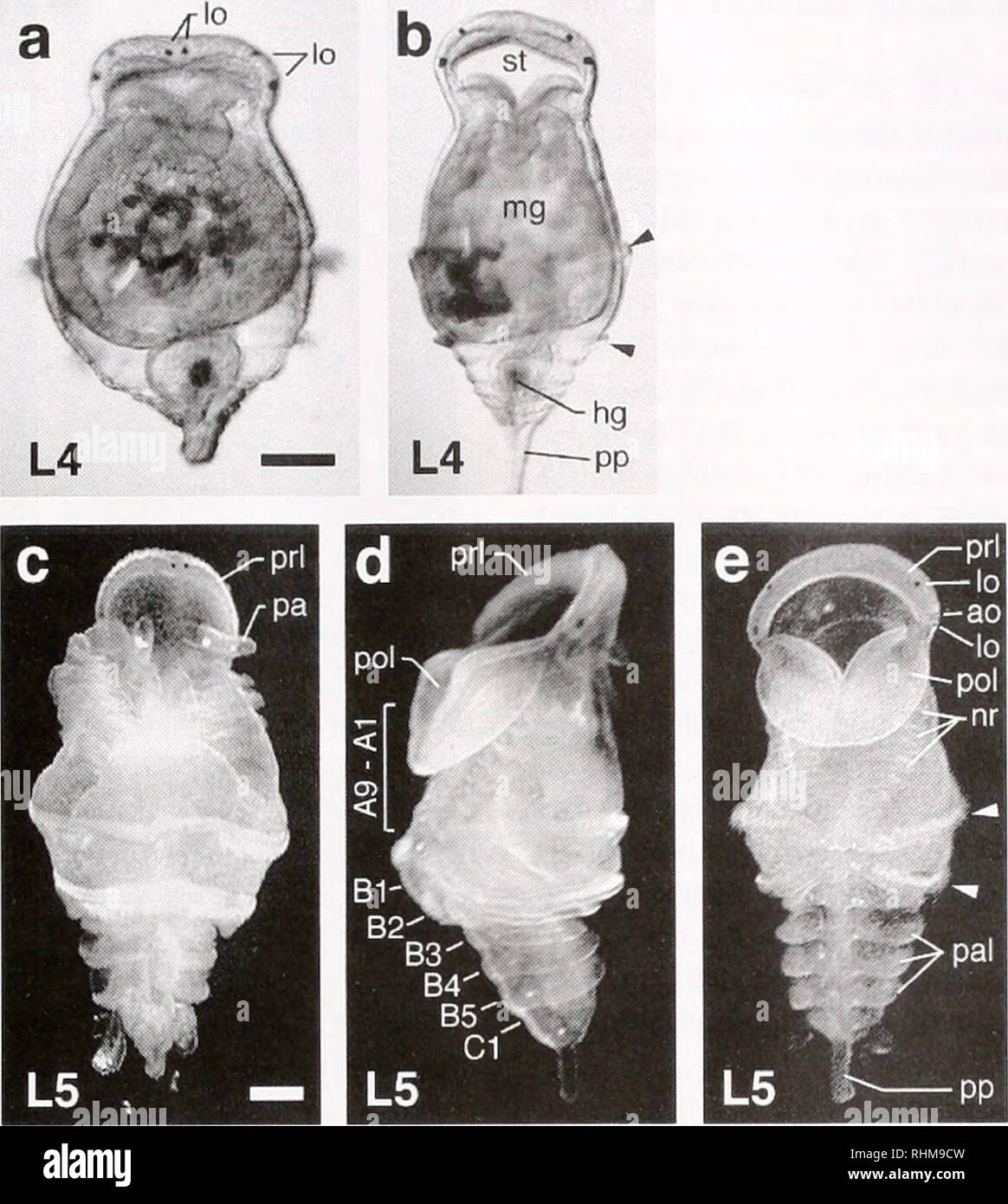 . The Biological bulletin. Biology; Zoology; Biology; Marine Biology. CHAETOPTERUS LARVAL ONTOGENY 325. Figure 5. Larvae, stages L4 and L5. Anterior and posterior mesotrochs are marked by arrowheads, (a. h) Stage L4 larvae at 30 days in dorsal and ventral views, (c-e) Stage L5 larvae at 60 days in dorsal, lateral, and ventral views respectively. The locations of adult setiger rudiments are labeled in (d). Note the appearance of the red adult ocelli, visible in (e) along with the persistent larval ocelli, ao, adult ocellus; hg. hindgut; lo, larval ocellus; mg, midgut; nr. notopodial rudiment of - Stock Image