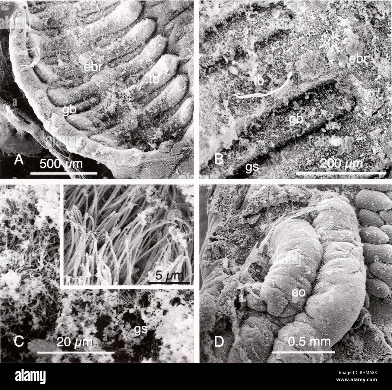 . The Biological bulletin. Biology; Zoology; Biology; Marine Biology. 194 C. B. CAMERON '. - *ifi. y ( •^.-'-^-.,'artX. Figure 1. Scanning electron microscope images of sectii me J m.iiL-nal ol Harrimania planktophilus, I A) The dorsal branchial pharynx, showing the primary bars, tongue bars, and gill slits. (B) The gill bars and slits in the dorsal branchial pharynx. (C) Cilia and mucus on a gill bar. (C inset) High-magnification image of cilia on a tongue bar. (D) The esophageal organ concentrates food in passage from the pharynx to the hepatic region of the gut. ebr. epibranchial region; e - Stock Image