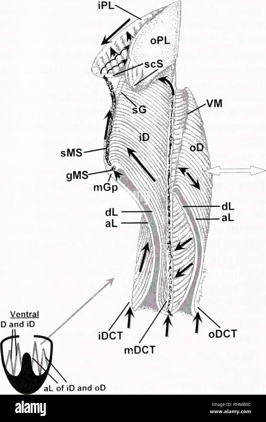 . The Biological bulletin. Biology; Zoology; Biology; Marine Biology. 118 S. M. BAKER ET AL the inhalent siphon, any movement of the OIT resulted in the cessation of feeding. And when the pallial cavity was entered through the pedal gape, the foot usually touched the OIT, coating it with mucus. Results were based on the examination of 21 mussels. Particle velocities on feeding structures were determined from the number of video frames required for a particle to traverse a known distance. Distances were calibrated ac- cording to Ward (1996): i.e.. the pallial organs were dis- sected from severa - Stock Image