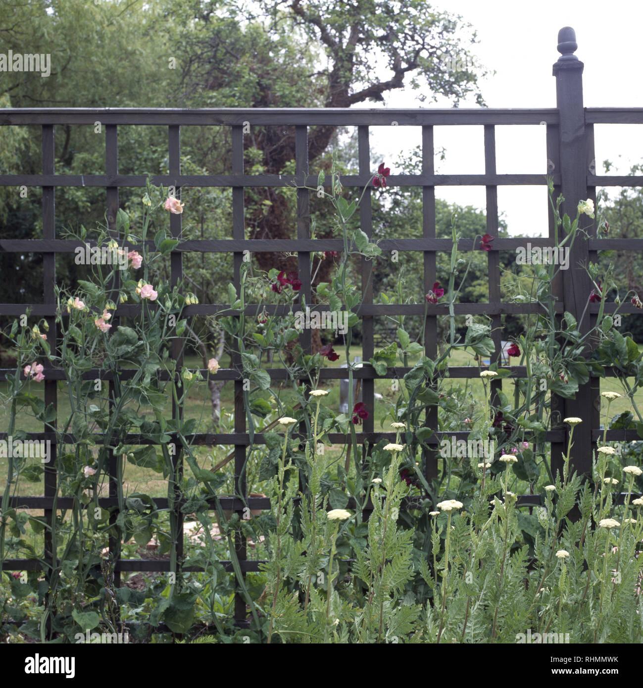 Sweet Peas Growing On Metal Trellis Fence Stock Photo Alamy