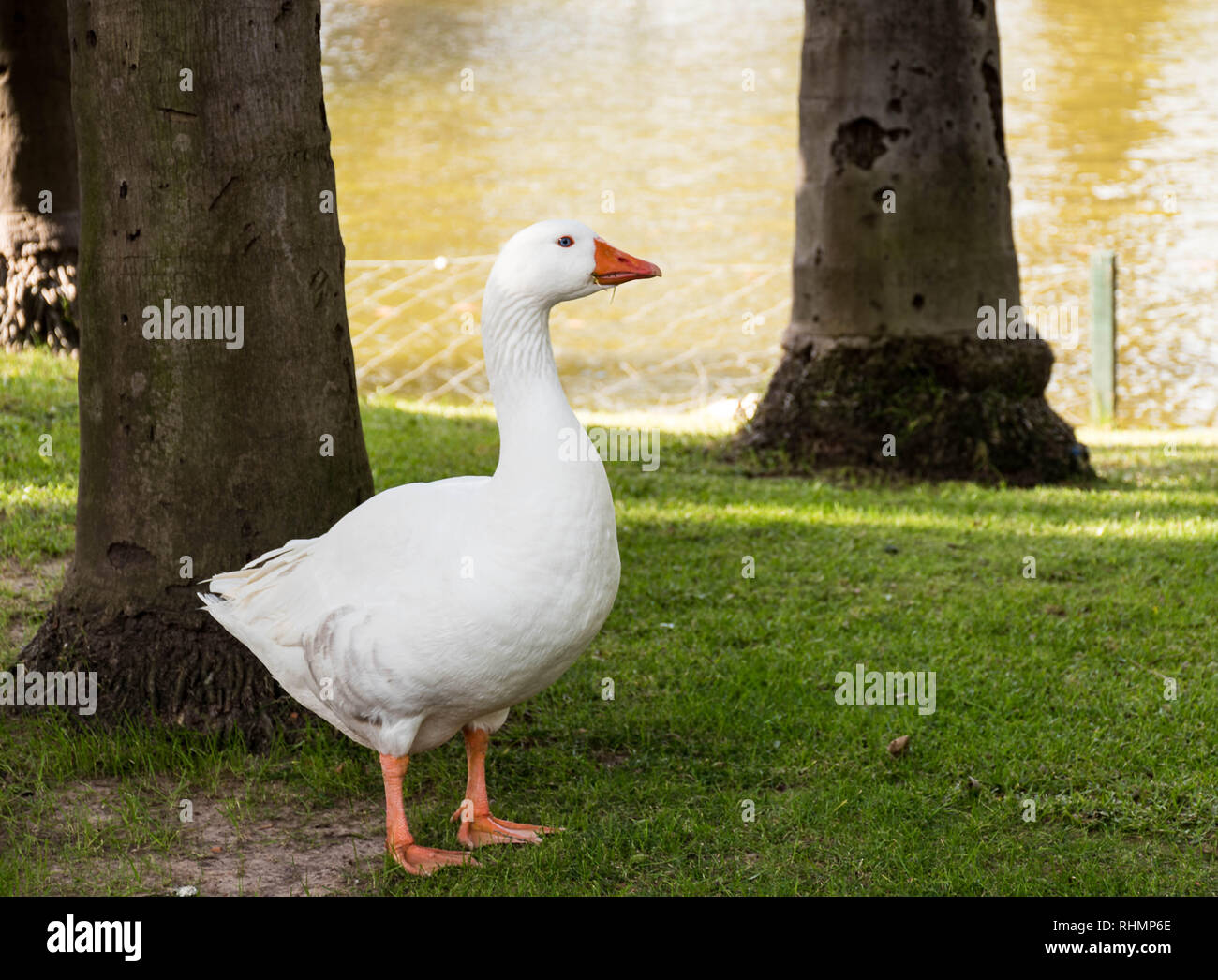 Anas platyrhynchos domesticus/ Domestic Duck by a lake. - Stock Image