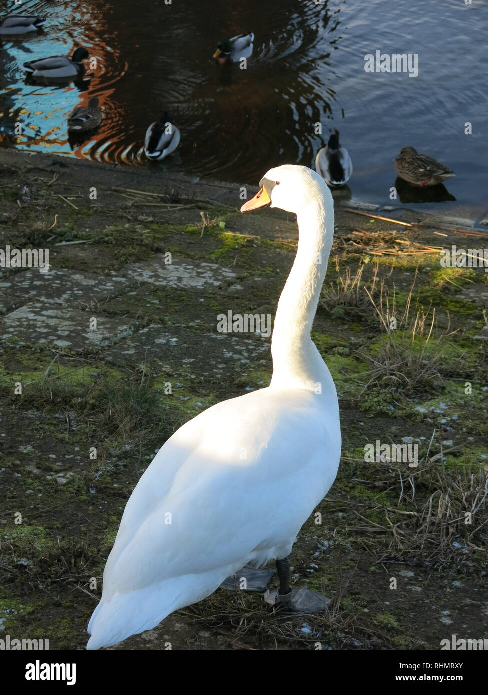 A single white swan at the reservoir on a cold wintry afternoon at Sywell Country Park, Northamptonshire; its white plumage glowing in the winter sun Stock Photo