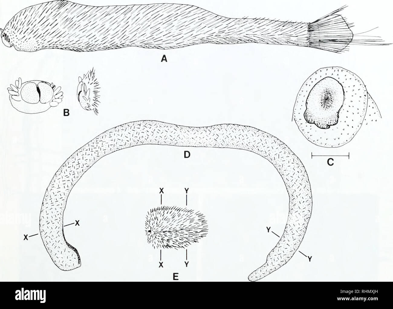 . The Biological bulletin. Biology; Zoology; Biology; Marine Biology. APLACOPHORA: PROGENETIC COELOMATES 65. Figure 7. (A-C) Chaetodermomorpha. (A. B) (.'kern'derma lurnerae. entire animal (antenor to left) and divided oral shield (I'rom Scheltema, 1985, fig. 3L, O. P). (C) Oral shield of SculOfiim megaradulalu.i (cf., Fig. 8A) (from Scheltema, 1988, fig. 6). (D. E) Neomeniomorpha. (D) Dorymenia sp. (E) A new neomenioid genus and species in the family Simrothicllidae. D and E are drawn to the same scale, anterior to left; the midgut and gonad lie between X-X and Y-Y. in its plesiomorphic state - Stock Image