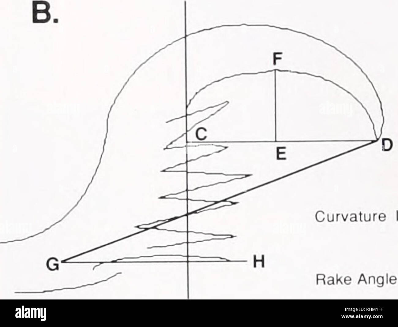 . The Biological bulletin. Biology; Zoology; Biology; Marine Biology. ndex = distance EF distance CD (Bloom. 1976) Rake Angle •- Figure 1. Drawings of a radula tooth from a (A.) dorsal and (B.I lateral perspective. Schematics show the measurements made to quantity radular structure. (WR = width of radula, Wr = width of rachidian tooth, Lr = length of rachidian tooth, d = denticles.) differences in radular structure existed among the nudi- branchs (Harris, 1985). Data were In (x + 1) and square root (x + 0.5) transformed to correct for non-normality and heteroscedastic variances (Zar, 1984). Fe - Stock Image