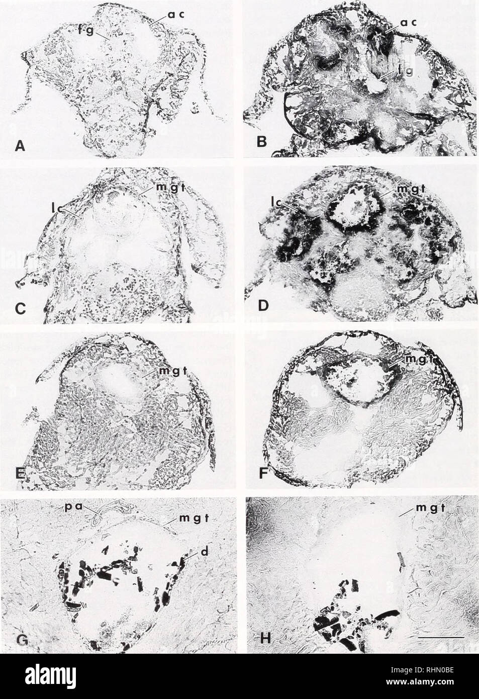 . The Biological bulletin. Biology; Zoology; Biology; Marine Biology. 166 D. L. LOVETT AND D. L. FELDER ' -* mgt ,. ^_. G • T' W *;*•> ^v :Jr' *>£*>'•' Figure 3. Histochemical localization of alkaline phosphatase activity in fresh frozen sections of Penaeus setifenis. A, C, E, G, control sections. B, D, F, H. sections incubated with Naphthol AS-BI phos- phate as substrate. A, B, transverse section through foregut and anterior midgut caeca of larval stage Mysis 2. C, D. transverse section through lateral midgut caeca and midgut trunk of Mysis 2. E. F, transverse section through abdomin - Stock Image