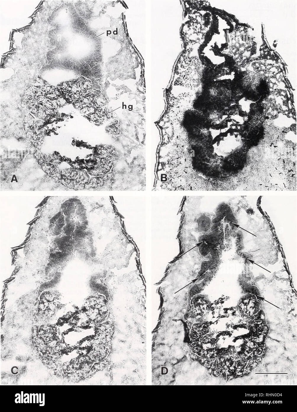 . The Biological bulletin. Biology; Zoology; Biology; Marine Biology. 164 D. L. LOVETT AND D. L. FELDER. Figure 2. Histochemical localization of enzymes in fresh frozen transverse sections of posterior midgut diverticulum and hindgut in Penaeus selij'erus juveniles (PL,4(I). A. control section. B, section incubated with Naphthol AS-LC acetate as substrate to indicate esterase activity. C, section incubated with Naphthol AS-BI as substrate to indicate alkaline phosphatase activity (no precipitate present). D, section incubated with Naphthol AS-MX phosphate as substrate to indicate acid phosphat - Stock Image
