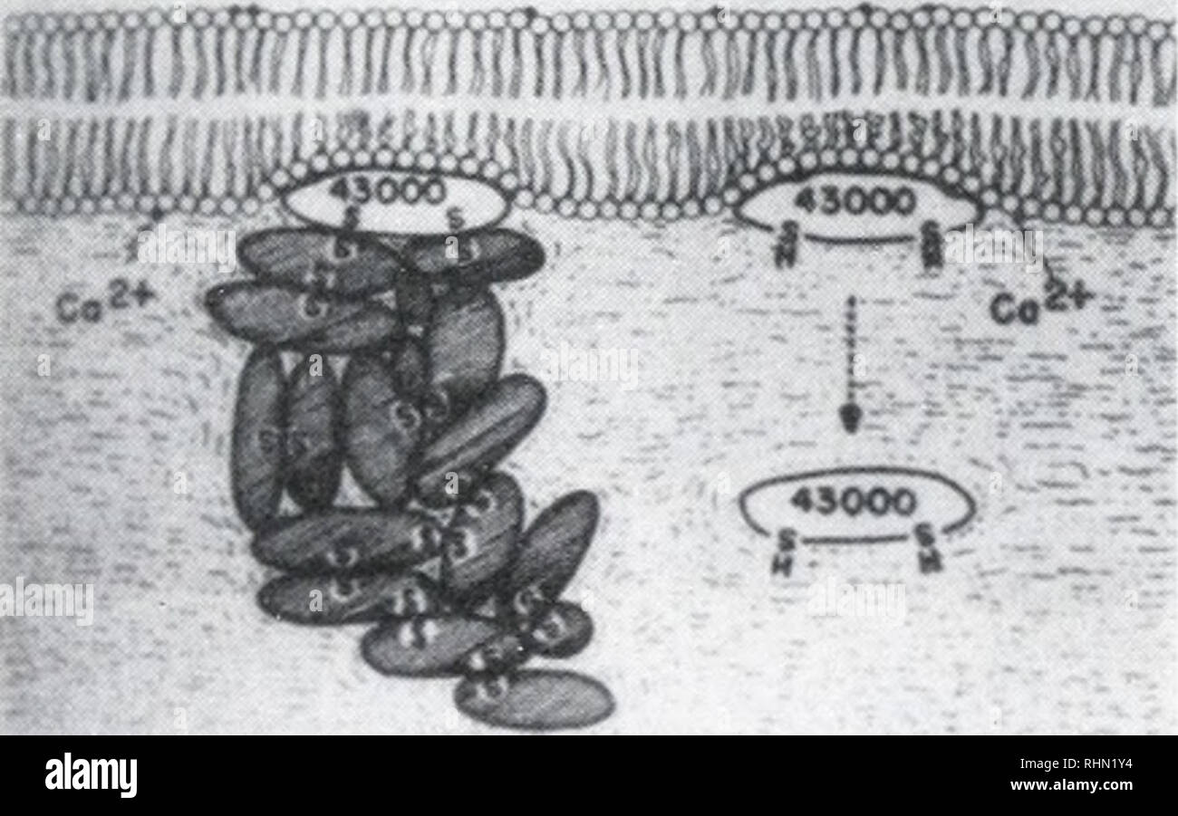 . The Biological bulletin. Biology; Zoology; Biology; Marine Biology. B FIGURE 11. Schematics of lens fiber cell membranes. A. Association of water-insoluble but urea- soluble proteins with the fiber cell membrane, and summary of other associated molecular species (after Broekhuyse, 1981). B. Association of the 43,000 dalton water-soluble protein with the lens fiber cell membrane, and aggregation of other soluble crystallins to the membrane via -SS bonding (after Spector et al, 1979).. Please note that these images are extracted from scanned page images that may have been digitally enhanced fo - Stock Image