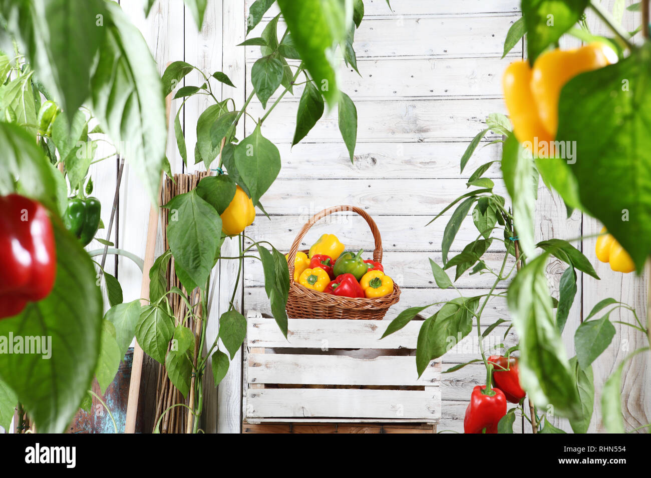 Wicker Basket Full Of Sweet Colored Peppers On The Wooden Box Crate