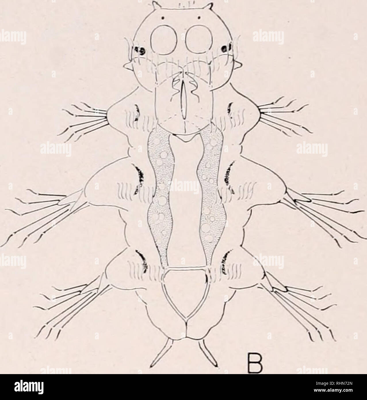 . The Biological bulletin. Biology; Zoology; Biology; Marine Biology.  FIGURE 4. Five-day, late 3-setiger larva of Laconcrcis culvert: (A) dorsal view; (B) ventral view. development. At this time, the proboscis (pharynx) exhibits weak protractor- retractor movements. Movements of the jaws and proboscis coincide with the onset of feeding. The midgut of the early 3-setiger larva is massive and projects into the prosto- mium. The interior of the midgut is filled with the yolky macromeres. Gradually, the macromeres are digested and broken down to an amorphous mass of yolk that flows back and for - Stock Image