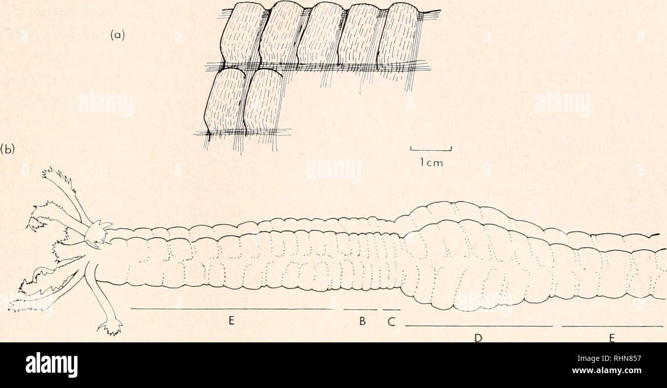 . The Biological bulletin. Biology; Zoology; Biology; Marine Biology. LOCOMOTION OF EUAPTA 97 (a). FIGURE 1. Diagrams showing the external shape of the apodous holothurian Euapta lappa. (a) Seven warts are shown with the muscles that delineate them: solid lines indicate muscles in state of tonus; broken lines indicate relaxed circular muscles; (b) body of Euapta with a direct overlapping peristaltic wave passing from right to left; B, initial contraction of longitudinal muscle; C, contraction of circular muscle and further longitudinal muscle con- tractions; D, relaxation of all muscles: body  Stock Photo
