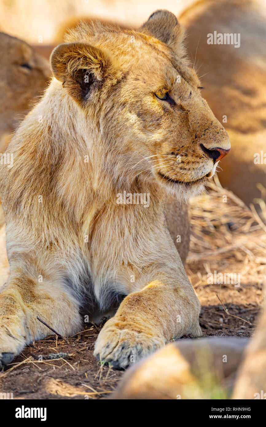 Young male lion resting together with the pride in Serengeti - Stock Image