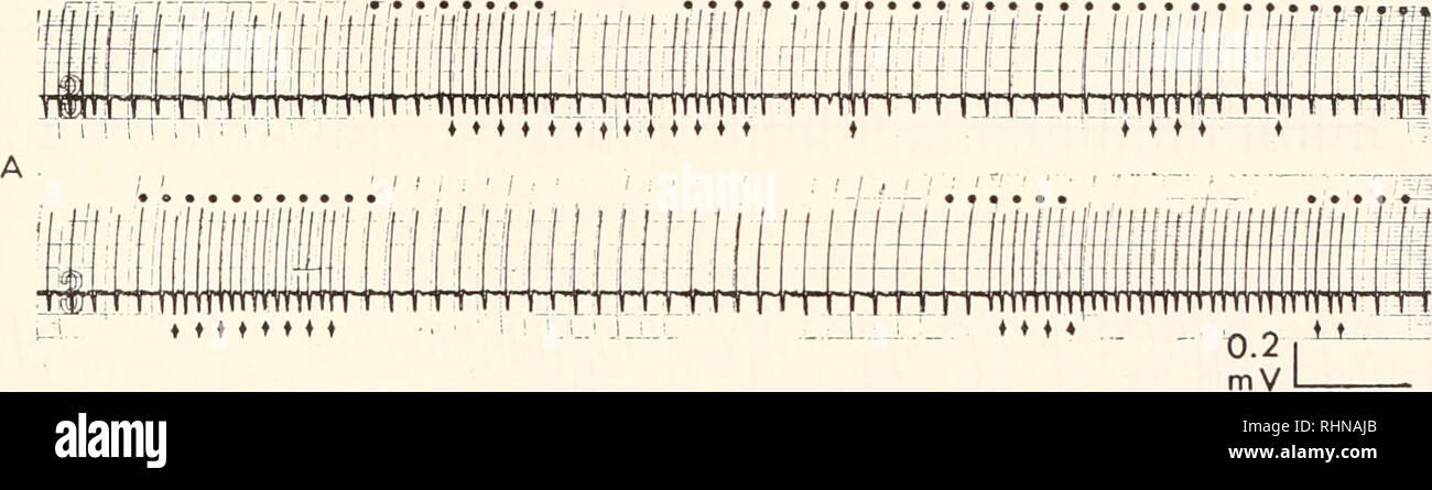 . The Biological bulletin. Biology; Zoology; Biology; Marine Biology. TUNICATE HEART PACEMAKERS 169 the heart, which would decrease the safety margin for conduction; Kriebel, 1967a). Sometimes the electrical records from isolated hearts showed even more complex rhythms. Careful study revealed that the complexities could be resolved into super- imposed series of activities of two pacemaker centers, each showing periods of acceleration and deceleration (Figs. 2B and 3A). B. Properties of the middle pacemaker (the C center of v. Skramlik, 1938} Already mentioned previously, under normal circumsta Stock Photo