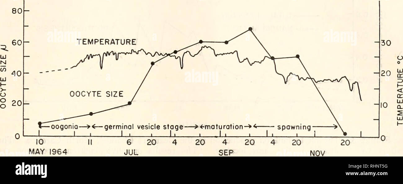 . The Biological bulletin. Biology; Zoology; Biology; Marine Biology. TEMPERATURE AND REPRODUCTION OF SCALLOPS 123 germinal vesicle stage L_i i L. 10 MAY 1964 MONTH FIGURE 2. Changes in average oocyte size of scallops collected at intervals during the reproductive period. Reproductive condition of the population is shown on the bottom of the graph. The solid line shows the daily noon-time sea water temperature observed in the vicinity where scallops have been collected. October showed few eggs and oocytes. The gonads decreased in size by the later part of November and the ovaries were empty (F - Stock Image