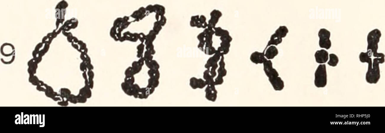 . The Biological bulletin. Biology; Zoology; Biology; Marine Biology. 360 C. D. DARLINGTON pends on size differences. The loops first meet, revealing the number and position of the chiasmata, in the shorter pairs. As the loops open the doubleness of the chromosomes becomes detectable (Fig. 2). The chromatids can then be followed separately through the chiasmata and sometimes throughout their length. Later they swell considerably and cease to be separately identifiable, except at the chiasmata (Fig. 9). This swelling is seen in many animals (perhaps Pristiurus may be re- garded as the extreme t Stock Photo