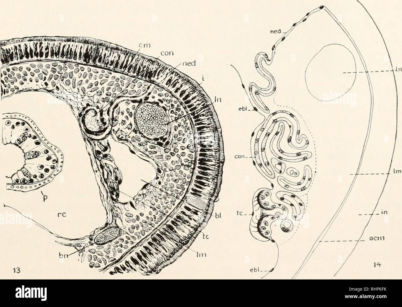. The Biological bulletin. Biology; Zoology; Biology; Marine Biology. TYPES OF NEPHRIDIA IN NEMERTEANS 211 dorsolateral borders of the cephalic lacunae not far anterior to the mouth. The convoluted tubule of this nephriclium is greatly elongated anteroposteriorly, with the slender efferent duct at its posterior end. Anterior to the midgut the nephritlia are widely scattered, increasing in abundance in the anterior portion of the gonad region and becoming less numerous beyond the end of the proboscis sheath. At least a hundred pairs are found in an individual of moderate size. In the mounted se - Stock Image