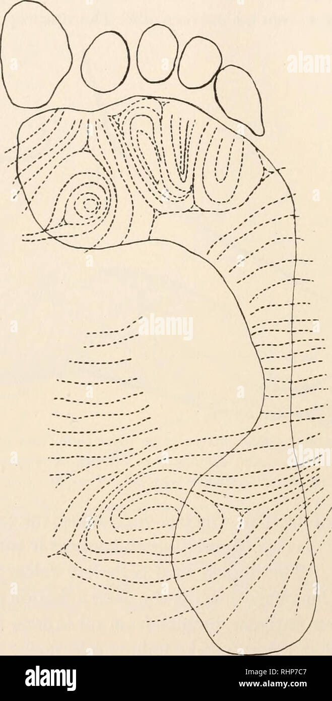 2671fa1de Biology  Zoology  Biology  Marine Biology. 2IO H. H. WILDER. former relief  of pads with their surrounding skin folds and embracing triradii