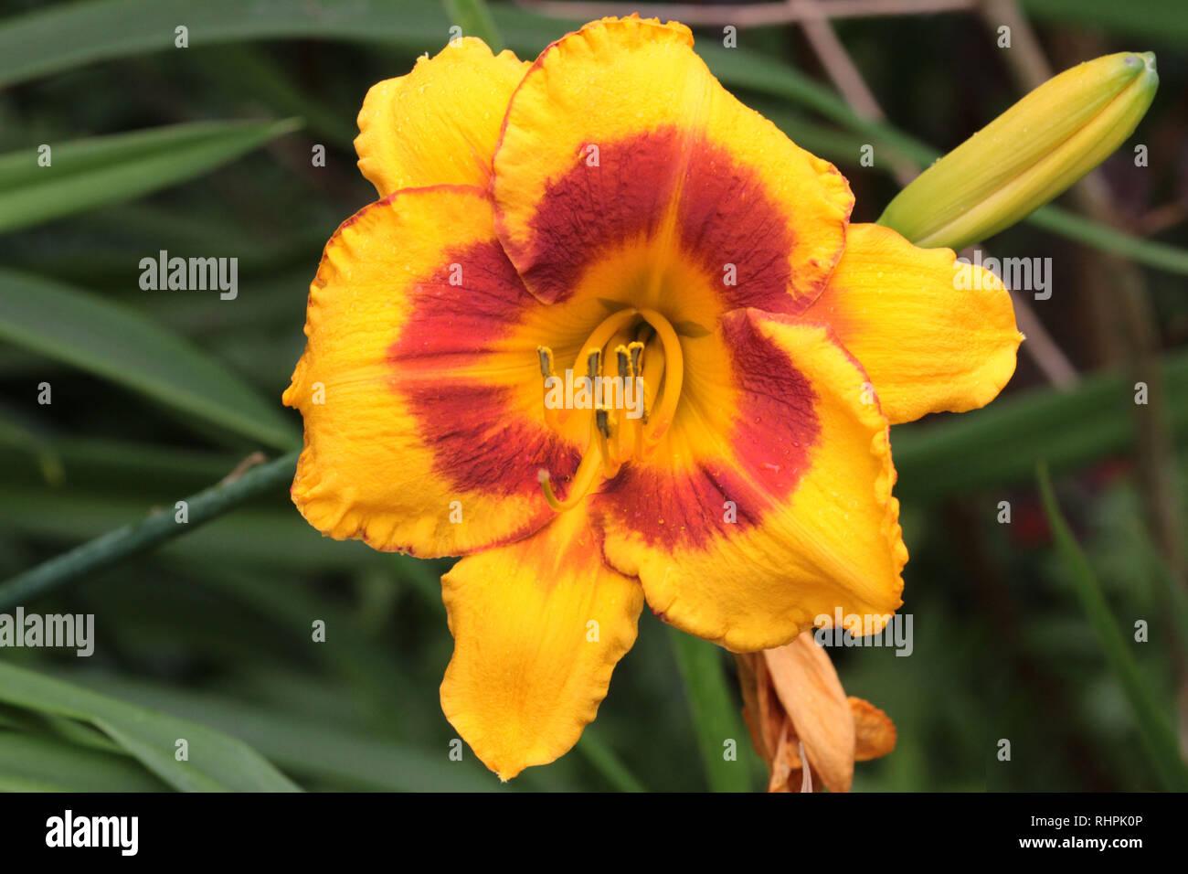 Day Lillies in Garden Stock Photo