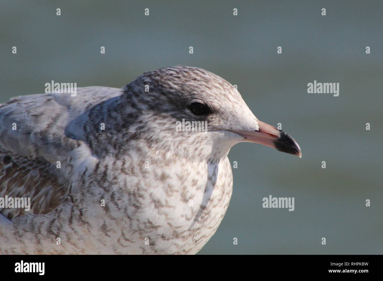 Ring Billed Seagull at Lake Ontario - Stock Image