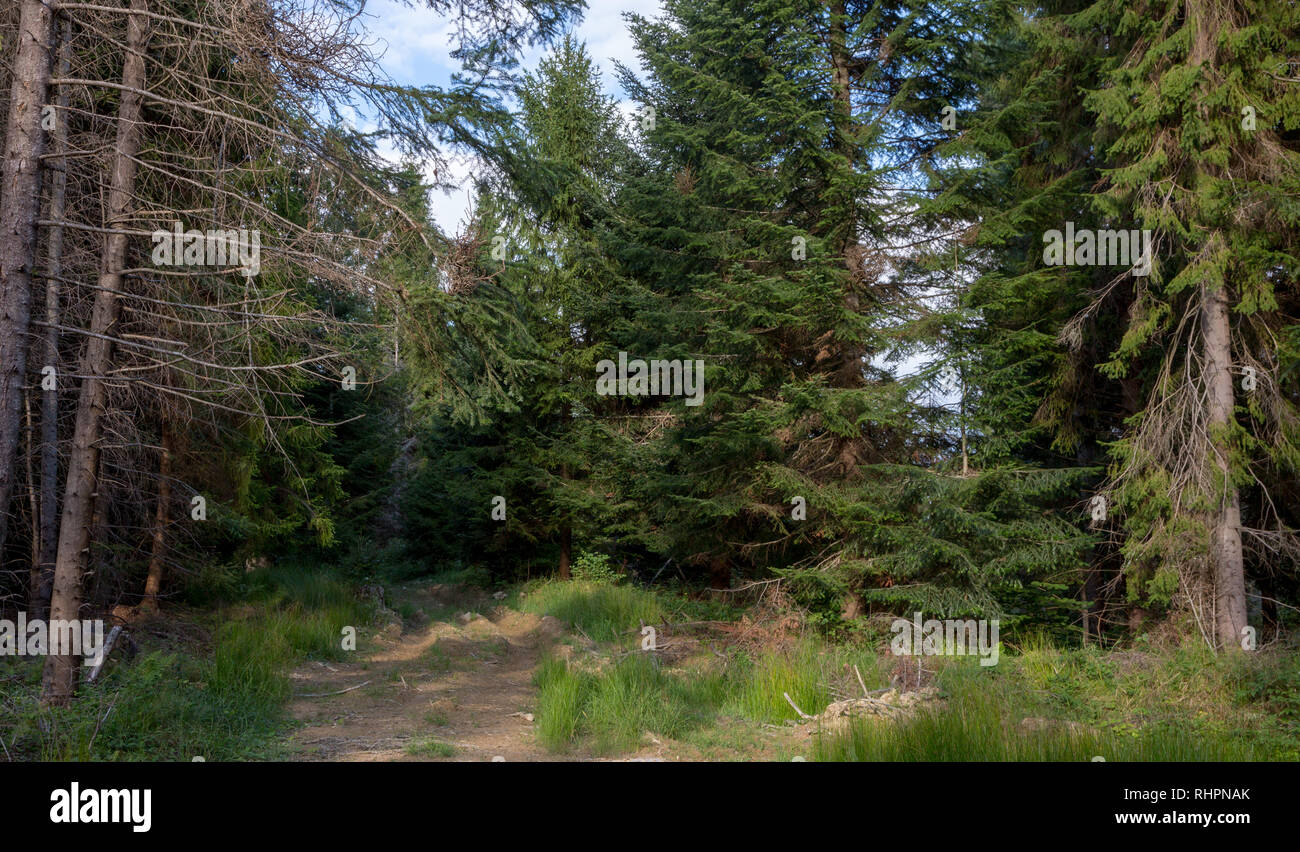 Old spruces in autumn, Bieszczady Mountain, Poland, Europe - Stock Image
