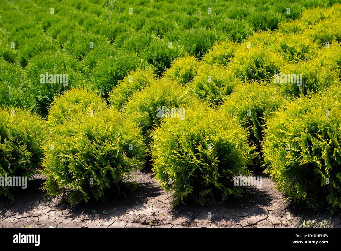 Plant nursery. Thuja occidentalis in garden center. - Stock Image