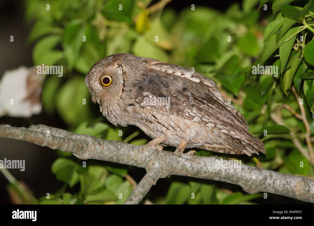 Scops owl put in the branch of a black poplar (Spain) - Stock Image