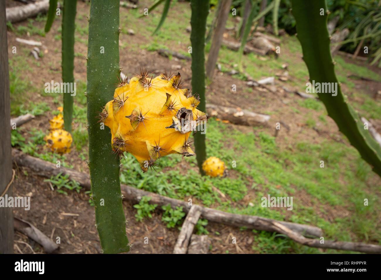 A Yellow Dragon Fruit or Pitaya (Pitahaya) growing on Dragon Fruit Cactus - Stock Image