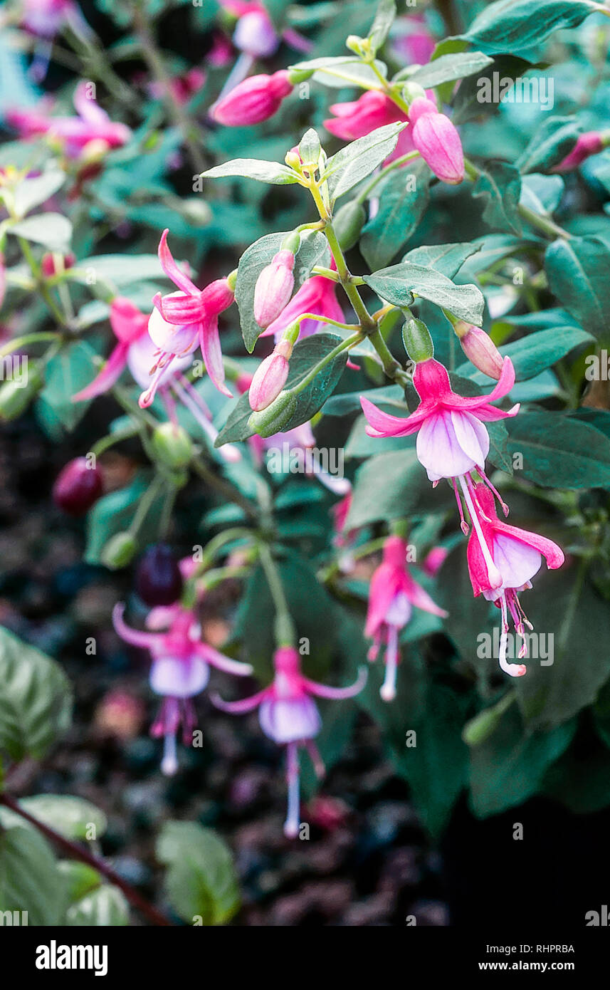 Fuchsia Bambini is a deciduous bush fuchsia that flowers in summer  Ideal in full sun or partial shade and is frost hardy  Good for borders etc - Stock Image