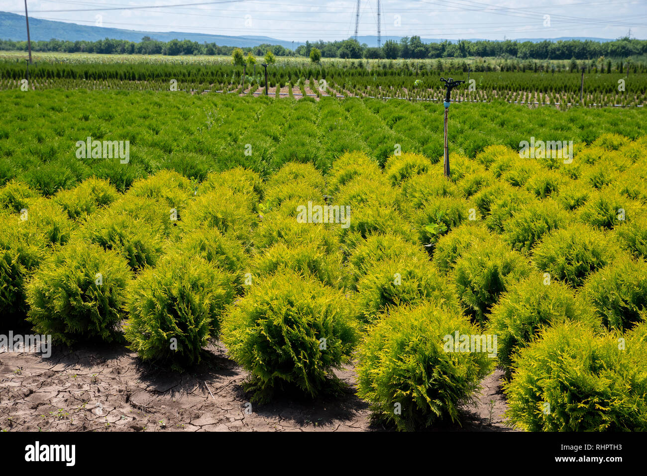 Nursery for Cedar. Natural green conifer thuja planting garden outdoor. - Stock Image