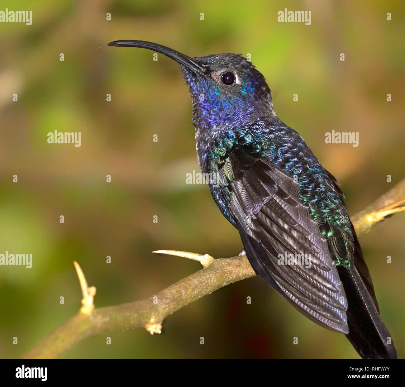 Violet sabrewing (Campylopterus hemileucurus) perched on a branch, Alajuela, Costa Rica Stock Photo