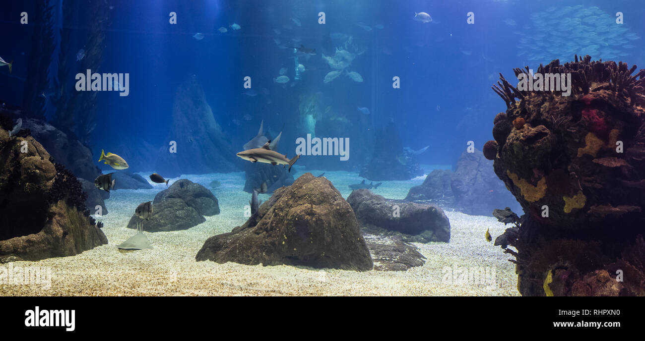 blacktip sharks and other tropical fish in their oceanic environment, Lisbon Stock Photo