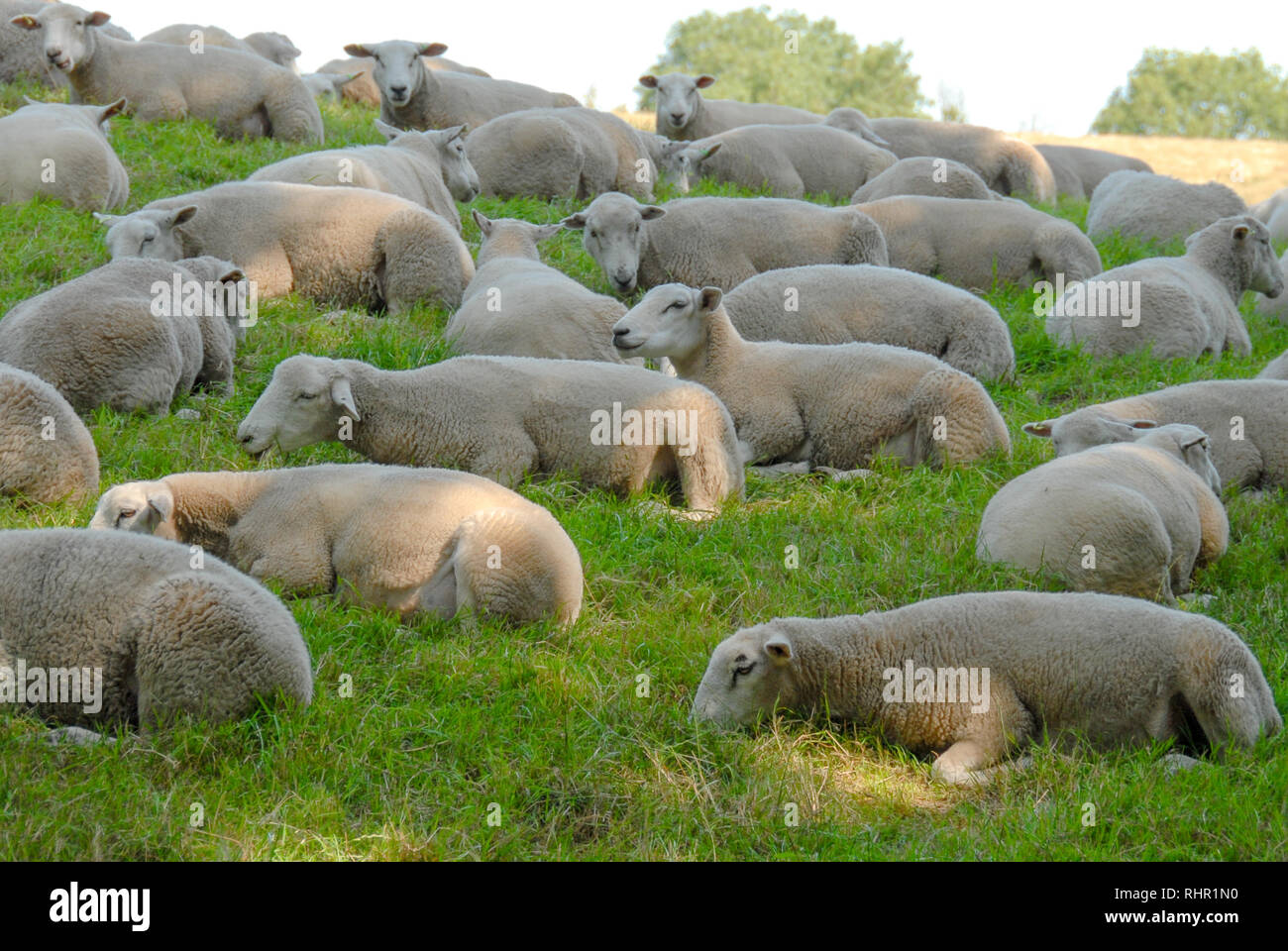 sheep laying in grass meadow Stock Photo