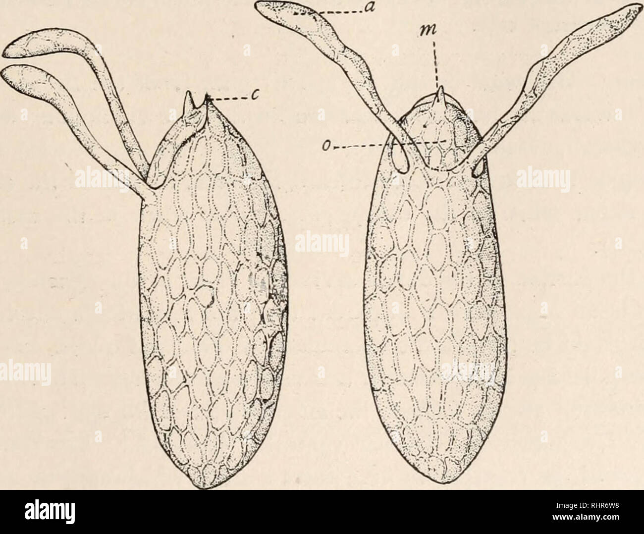 . The Biological bulletin. Biology; Zoology; Biology; Marine Biology. REPRODUCTION IN DROSOPHILA. 219 process is repeated in the spermathecae. Here it is still easier to follow their entrance, for the ducts of these receptacles are very thin and transparent. In no case were spermatozoa observed entering these receptacles before the ventral receptacle was filled with spermatozoa. This might be explained by the position of the orifice leading to the latter, which, as already stated, is placed a little posterior to the openings of the spermathecse, and per- haps also by the partial closure of the Stock Photo