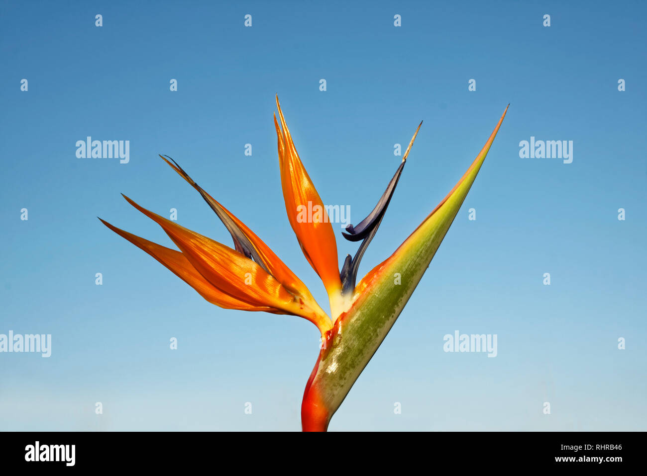 Bird of Paradise, cultivated flower, colorful, unique