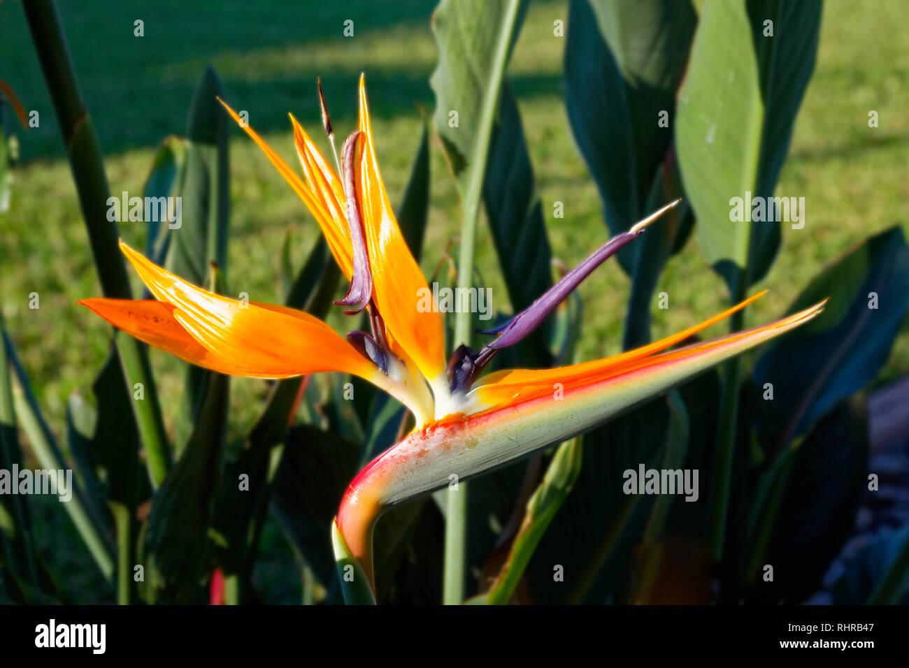 Bird of Paradise, cultivated flower, colorful, unique, nature, Crane flower, tropical, symbolize joyfulness, Strelitzia, green foliage, FL, Florida, h - Stock Image