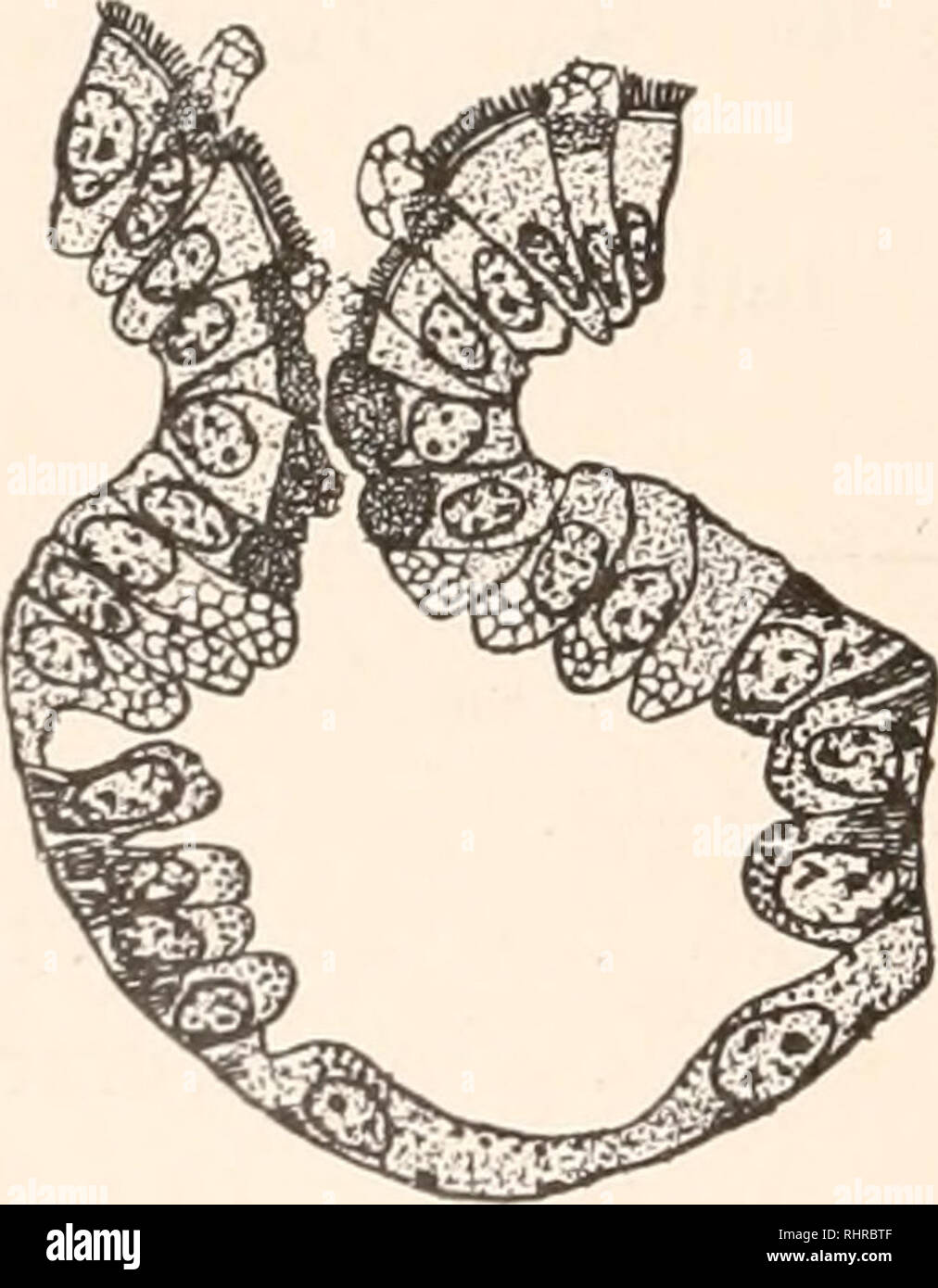 . The Biological bulletin. Biology; Zoology; Biology; Marine Biology. 94 BENSLEY. [VOL. II. distal limb, the latter curving cephalad above the ventral pos- terior margin of the liver, before passing into the midgut. Four regions may now be distinguished ; a very short ante- rior region without glands, provided with a ciliated epithelium, a region with flask-shaped glands and ciliated epithelium, a third region with tubular or saccular glands and a mucige- nous epithelium, and finally, at the posterior end, a region in which no glands at all are to be discerned. The second and third regions gra - Stock Image